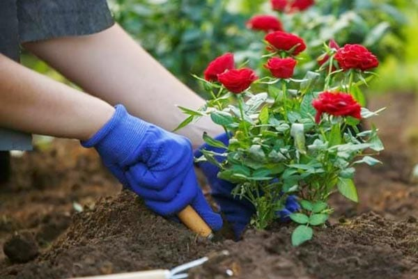 Garden Soil for Rose Bushes