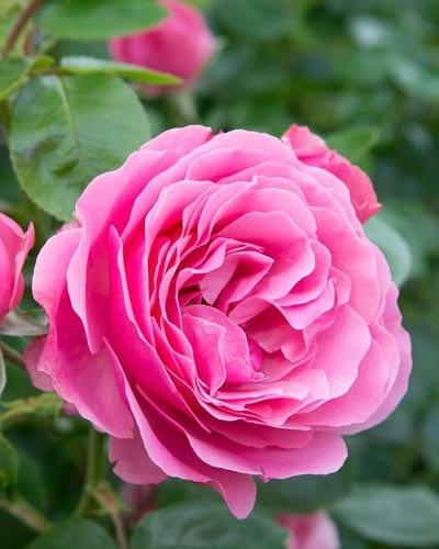 Shrub Rose Bushes - Yearly Rose List