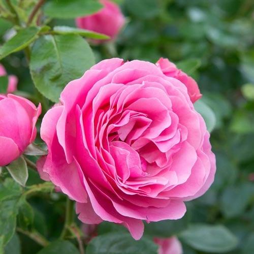 Shrub Rose Bushes