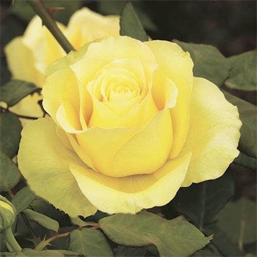 St. Patrick Hybrid Tea Roses