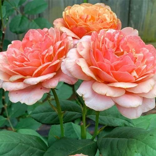 State of Grace Grandiflora Roses
