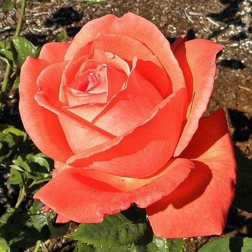 Tropicana Hybrid Tea Roses