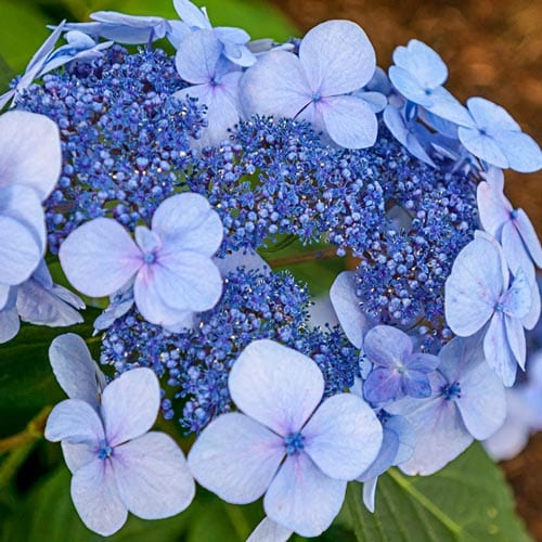 Twist and Shout Hydrangea Shrubs