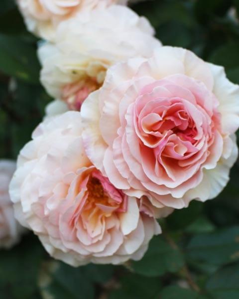 Preparing Rose Bushes