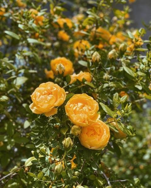 Off Season rose planting guide
